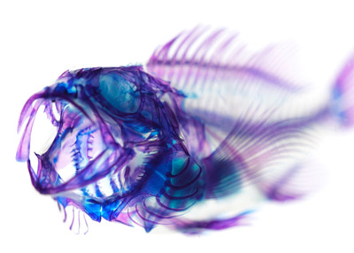 transparent_blackRockfish