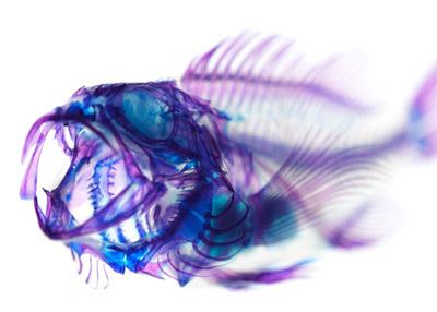 transparent_blackRockfish